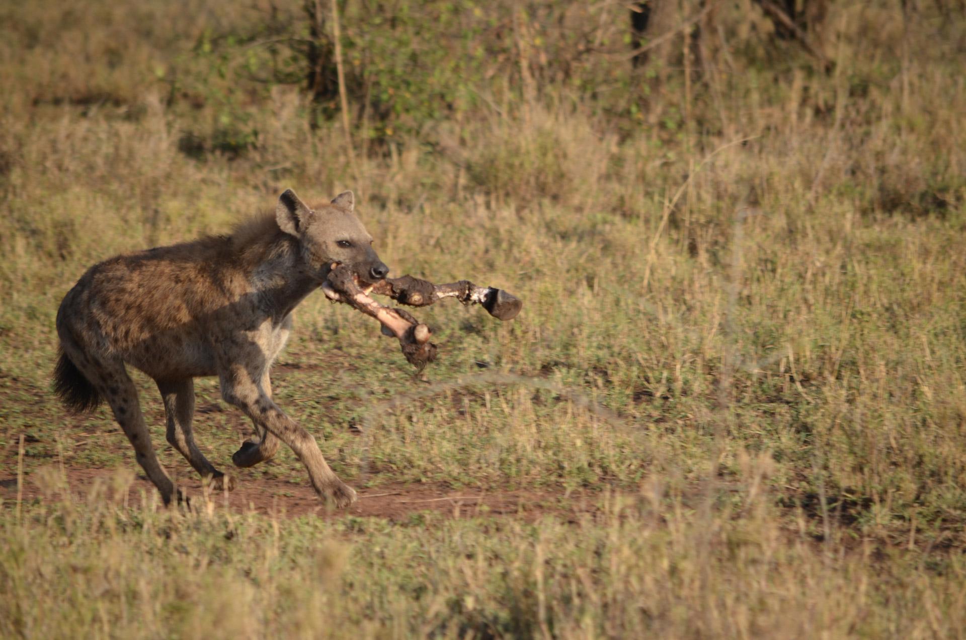 hyena-skvrnita